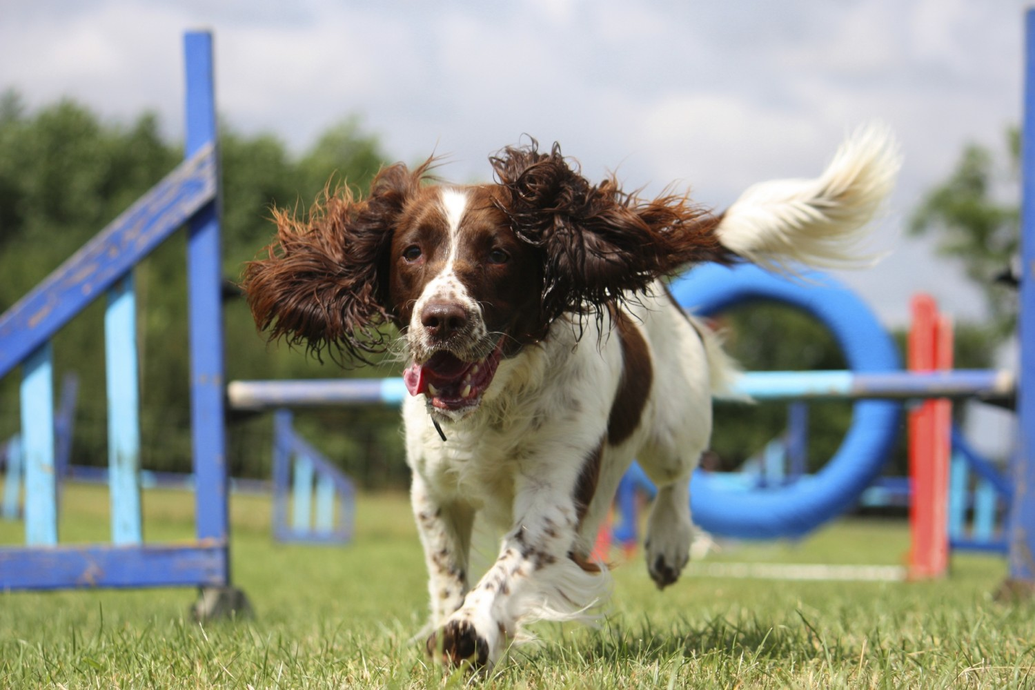 liver and white working type english springer spaniel pet gundog