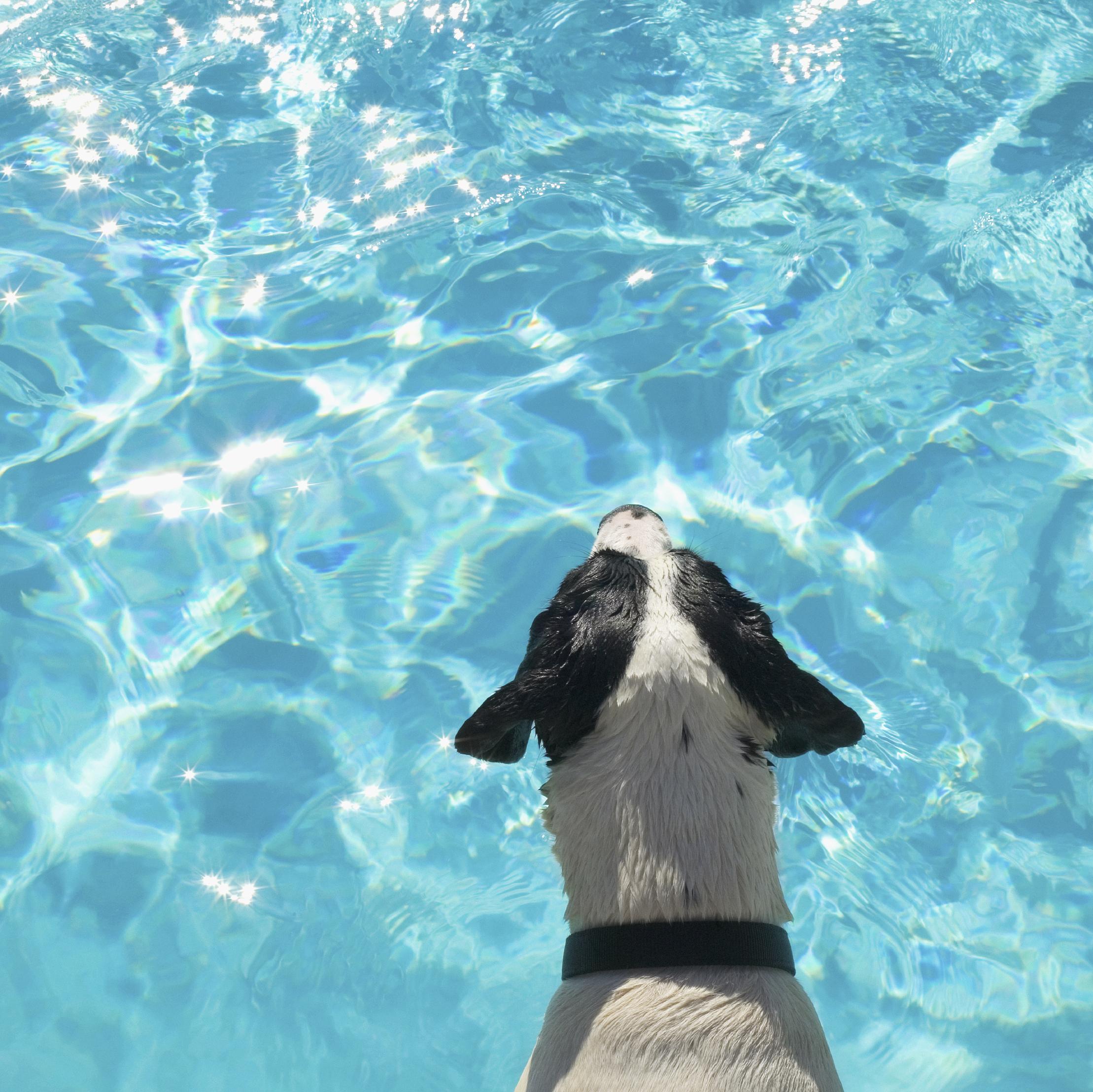 Pool Dog