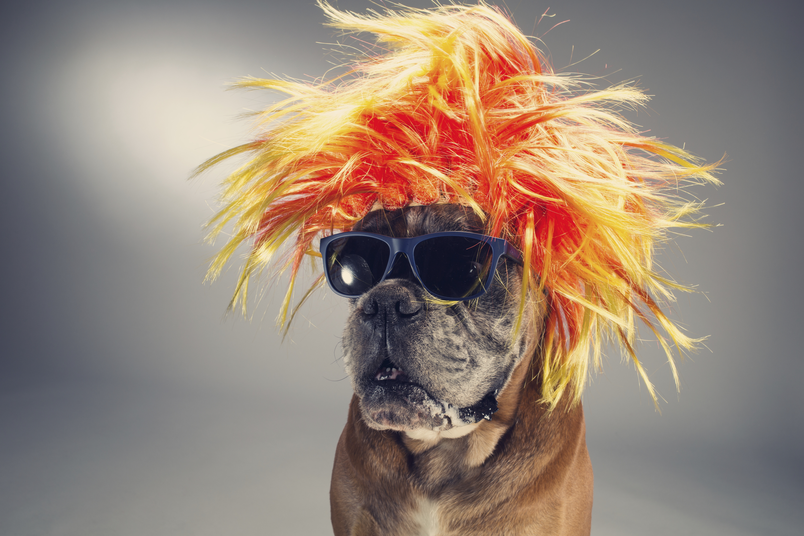 Boxer dog wearing wig and sunglasses