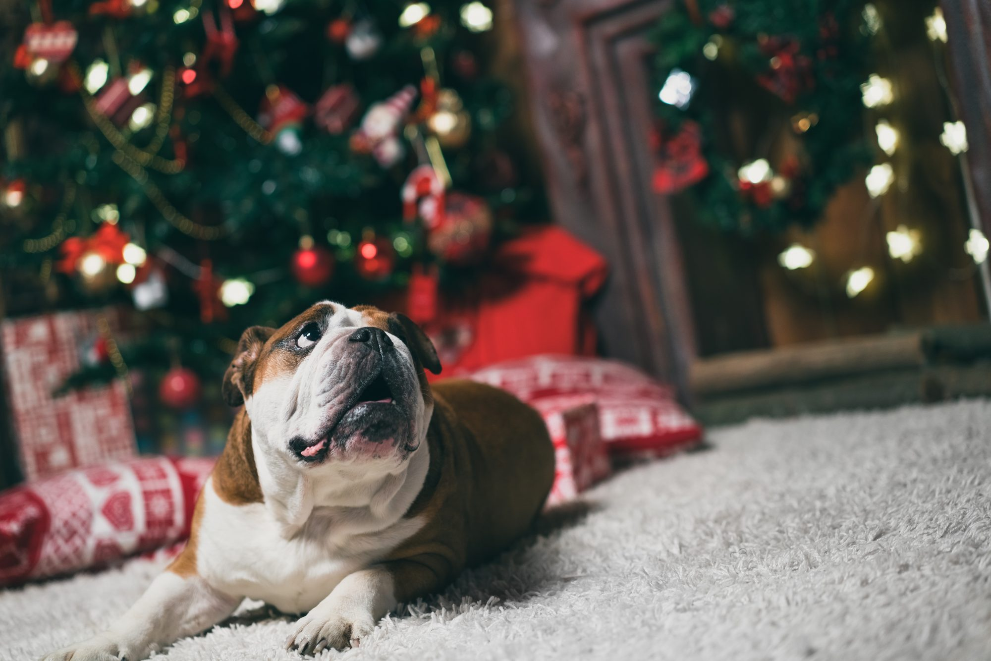 bulldog at the Christmas tree