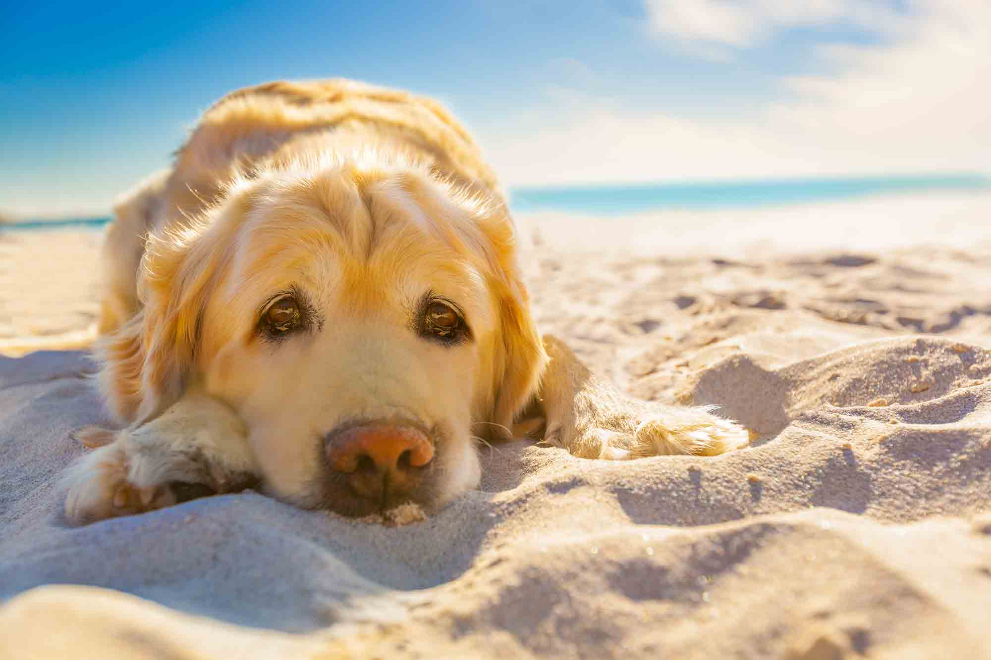 summer pet safety: dog