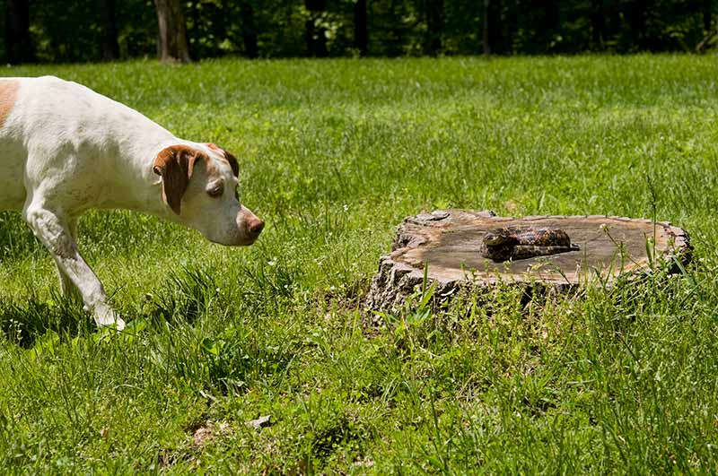 Dog approaching snake on tree stump